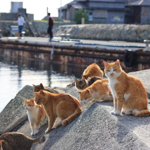 Aoshima, ou Ilha do gato do Japão
