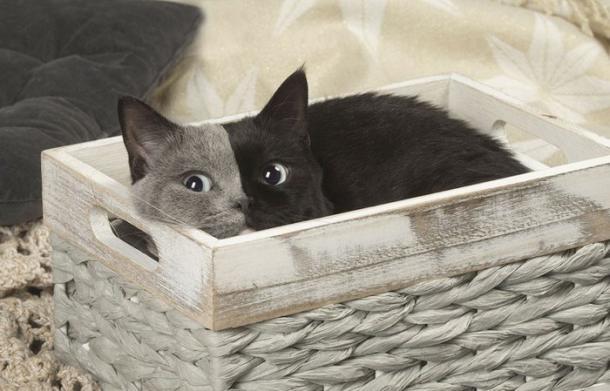 """Nárnia, a rara gatinha de """"duas faces"""""""