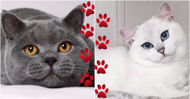 Algumas raças raras de gatos que, provavelmente, você não conhece