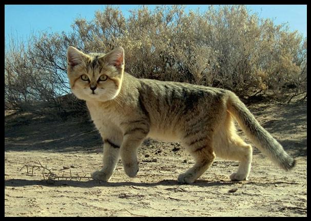 O gato do deserto, ou das areias
