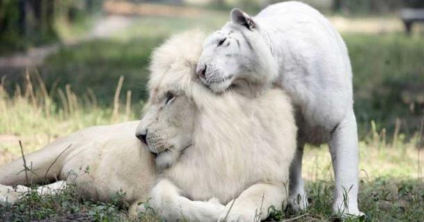 Leão Branco e Tigresa Branca