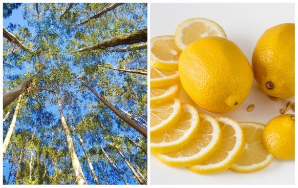 Mistura de eucalipto e limão