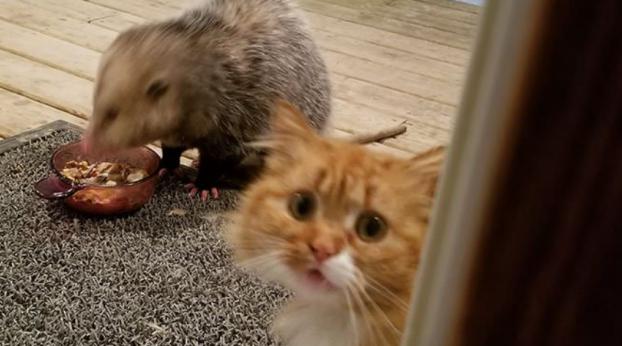 A reação desse gatinho ao gambá roubando sua comida, é demais!