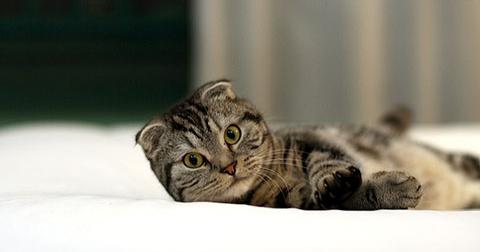 05 raças de gatos ideais para se ter em apartamento