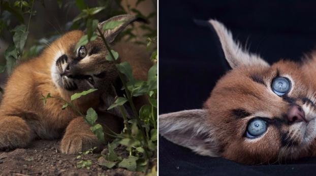 Essas imagens mostram o motivo do filhote de Caracal ser tão lindo