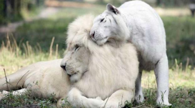 Uma Tigresa branca cruza com um Leão branco e o resultado é surpreendente