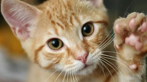 Como saber se um gato é DESTRO ou CANHOTO?