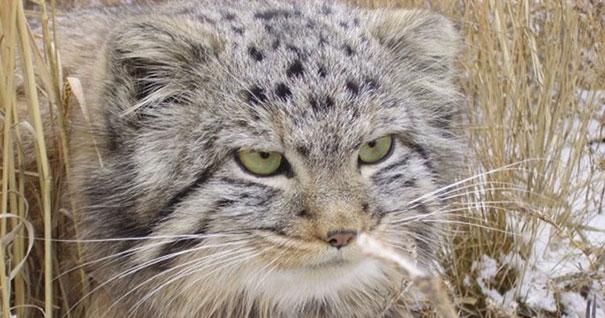 Agricultor Russo é surpreendido ao encontrar 04 filhotes de GATOS SELVAGENS, uma raça rara de gatos