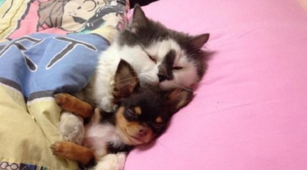 Este gatinho adotou uma ninhada de chihuahuas e vem cuidando como se fosse seus filhotes