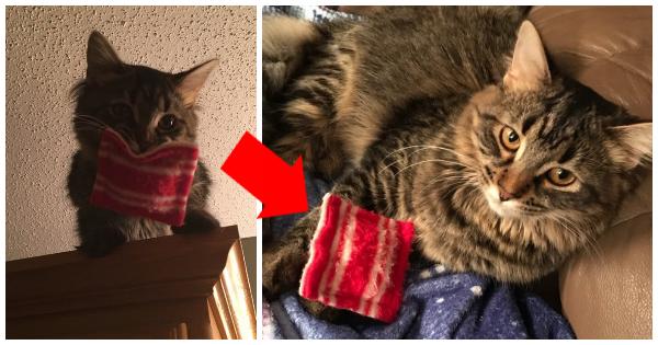 """Esta gata Maine Coon não vai em nenhum lugar sem o seu """"travesseiro de estimação"""" - mesmo agora q..."""